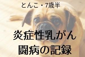 愛犬とんこの炎症性乳がん闘病記録
